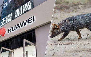 Tecnología de Huawei permitirá proteger al zorro de Darwin, una especie en peligro de extinción